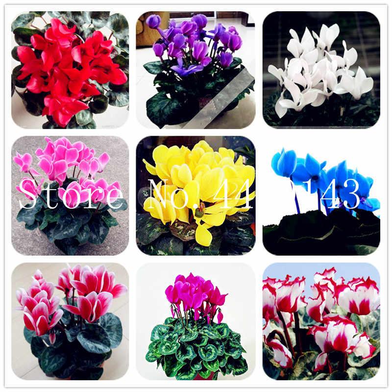 50 pçs/saco Cyclamen Bonsai Flor, Bela Flor Planta Bonsai para Casa Jardim Planta Vaso de Crescimento Natural, a Taxa de Brotamento de 97%
