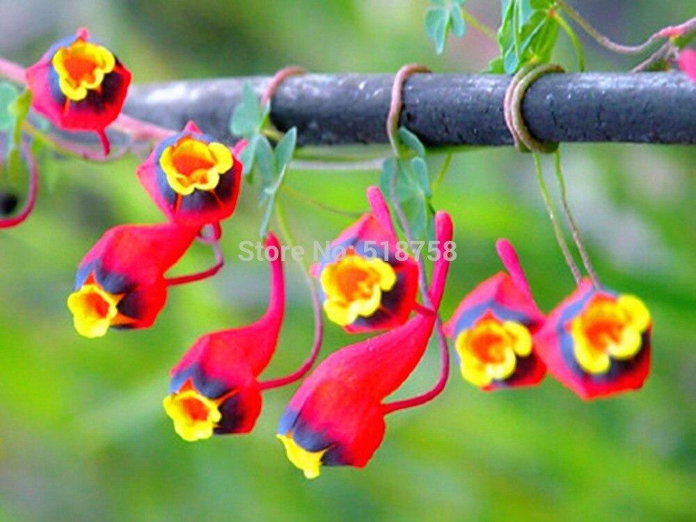100% натуральная! 10 шт. Свежие Редкие Tropaeolum Настурция Semillas легкой посадки цветок semillas (15-F0023)