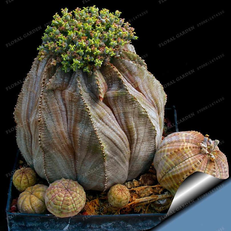الأكثر مبيعا اليابانية العصارة بونساي نادر داخلي زهرة البسيطة الصبار بونساي مصنع fleshier مضلع زهرة للبيع 100 قطع