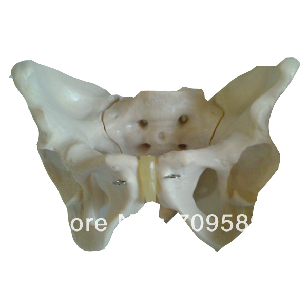 ISO Advanced female pelvis model, Anatomy pelvis model, female pelvis iso deluxe detachable female pelvis model with genital organs and nerves and vessels anatomy pelvis model