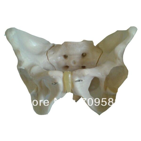 ISO avanzada modelo femenino de la pelvis, modelo anatomía pelvis ...