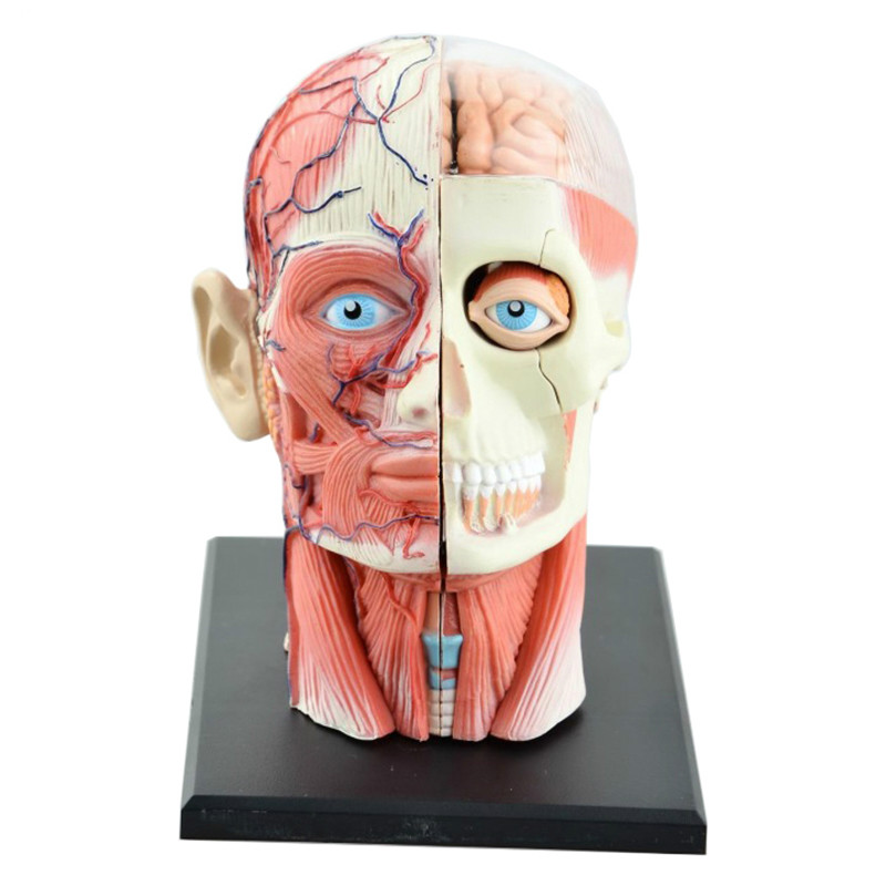4D Assembled Humans Skeleton Anatomical Model Brain Nasal Oral Pharynx Larynx Cavity Model Anatomia Exploded Skull Education Toy