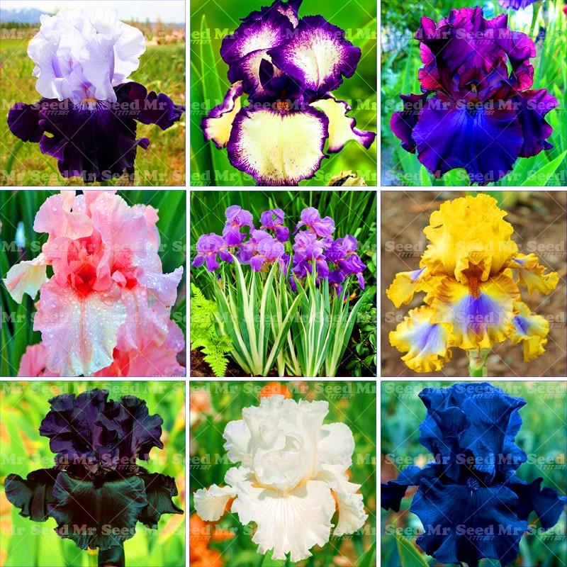 Big Promotion!20PCS Iris Seeds,bonsai flower seeds Heirloom Iris Tectorum Perennial Flower Seeds Rare palnt for home garden