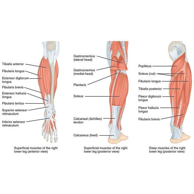 J0091 Foot muscles and bones Anatomy Pop 14x21 24x36 inches Silk Art ...