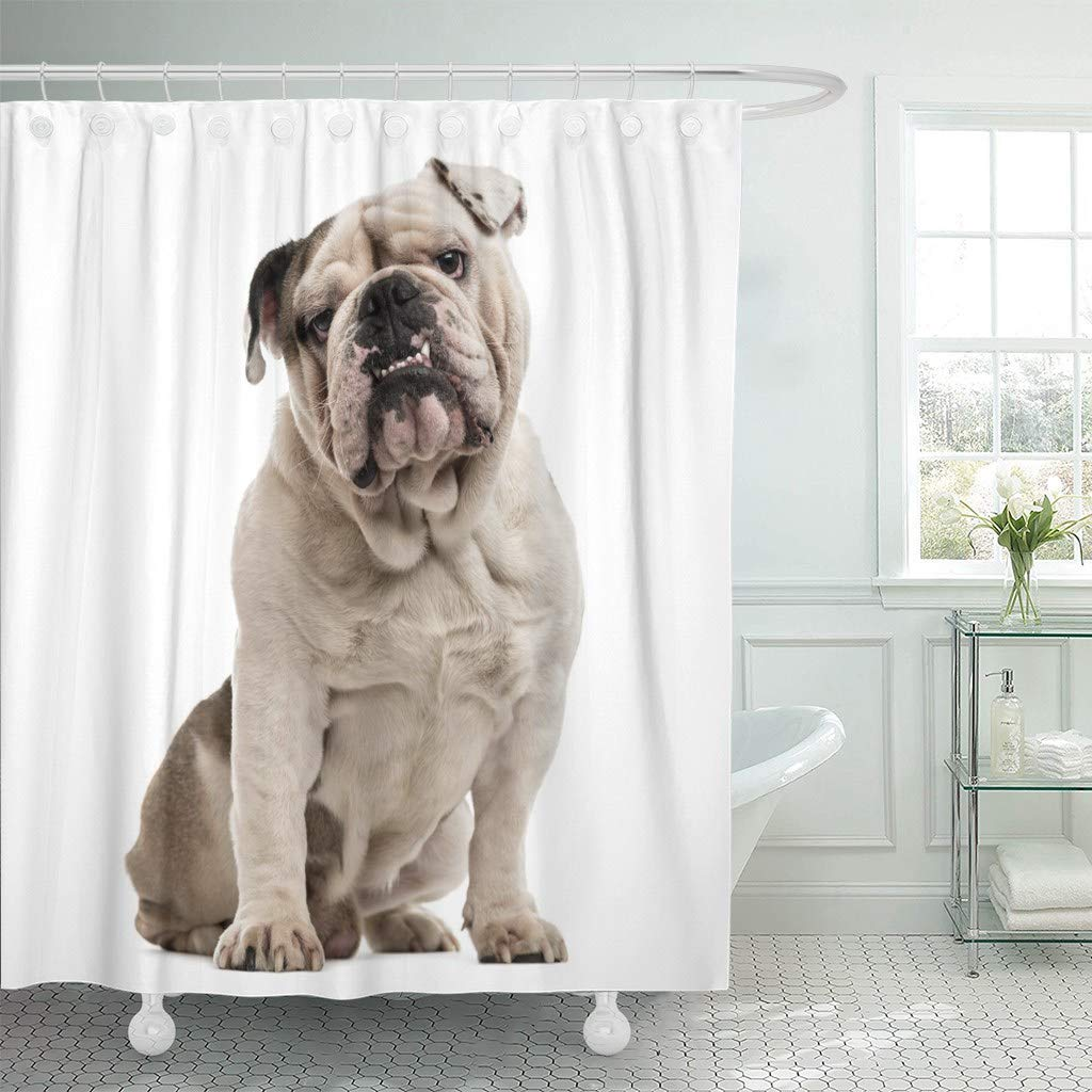 Fabric Shower Curtain With Hooks Dog English Bulldog Sitting And Looking At The Camera White Face Pet Studio Making