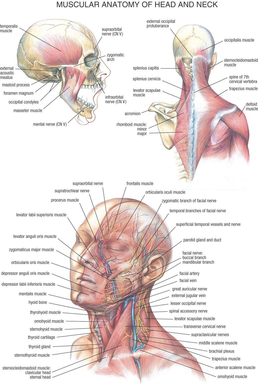 Chart Human Body Anatomy Fabric Poster 20 X 13 Decor 33 In