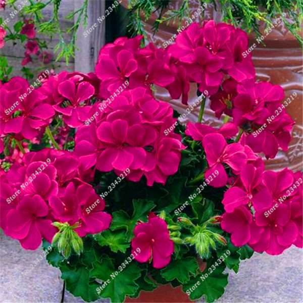 100 Pieces Geranium Sementes Rare Flower Seeds Indoor