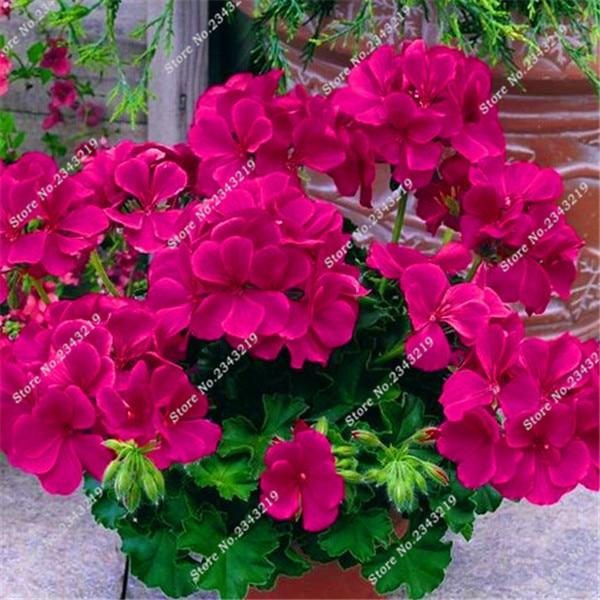 peas de flores de gernio sementes sementes de flores raras flores de plantas