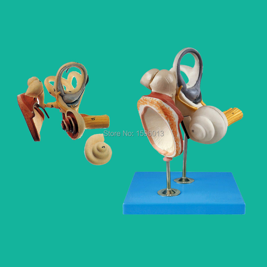 Inner Ear, Auditory Ossicle and Tympanic Membrane Model, Ear Anatomical Model, Ear structure model ear anatomical model anatomic model labyrinth inner ear vestibular enlargement ear structure model gasen ebh006