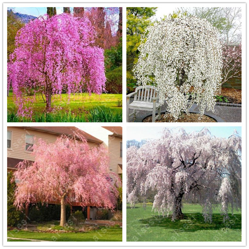 Bonsai 10 PCS Japanese Sakura Plants Rare Japanese Cherry Blossoms Pink Flowers In Indoor Plant Bonsai Tree