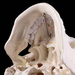 Image 5 - Cuộc Sống Kích Thước Sọ Người Mô Hình Giải Phẫu Giải Phẫu Học Y Tế Giảng Dạy Đồng Hồ Đầu Học Giảng Dạy Vật Dụng
