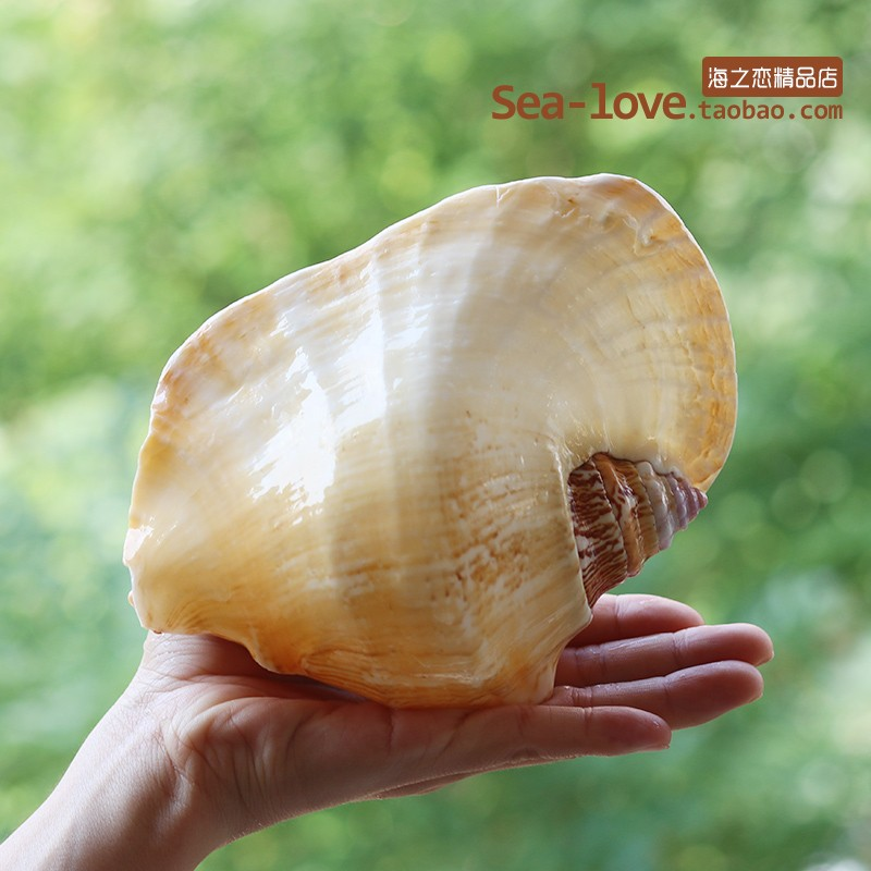 New Buddha's Ear Sea Snail Natural Super Large Conch Shell Ear Snail Craft Home Decoration Succulent Flower Pot Ornaments Crafts