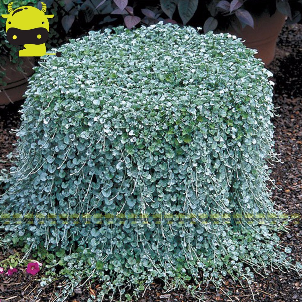 Rare Hanging Dichondra Micrantha Seeds 100 Seedspack Outdoor