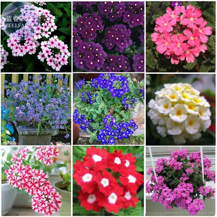 BELLFARM Verbena Hybrida Voss Perennial Plant Seeds, 80 Seeds, Garden  Essentials Long Flowering E4200 In Bonsai From Home U0026 Garden On  Aliexpress.com ...