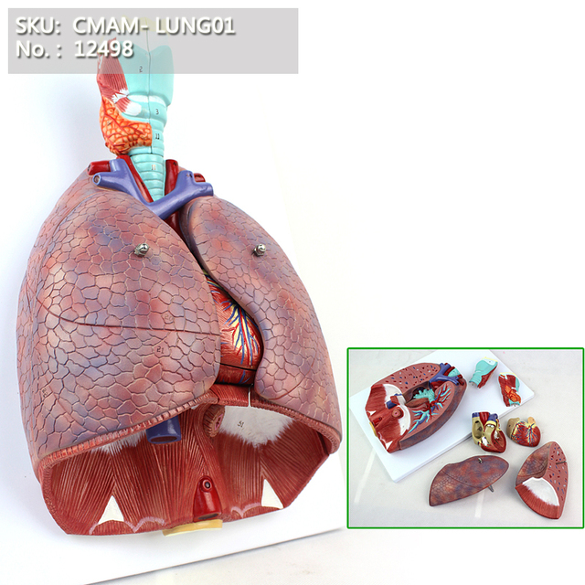 Cmam12498 Larynx Cardiopulmonary Human Respiratory System Medical