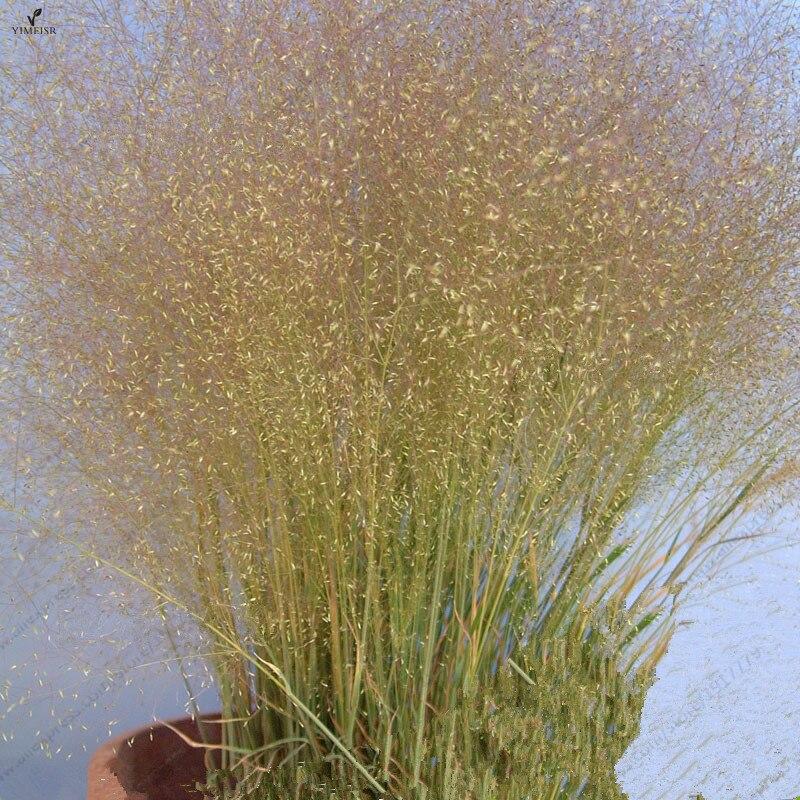 Agrostis nebulosa seeds,Ornamental Grass Seeds, Flower seeds Perennial Bonsai Plants For Home Garden 200seeds/bag