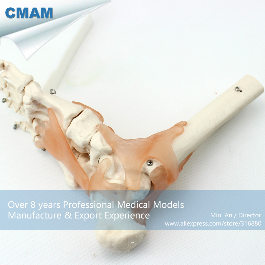 12348 CMAM-JOINT02 Life-Size Foot Joint Ankle with Ligaments,  Medical Science Educational Teaching Anatomical Models cmam urology04 life size human anatomical skeleton female urogenital medical science educational teaching anatomical models