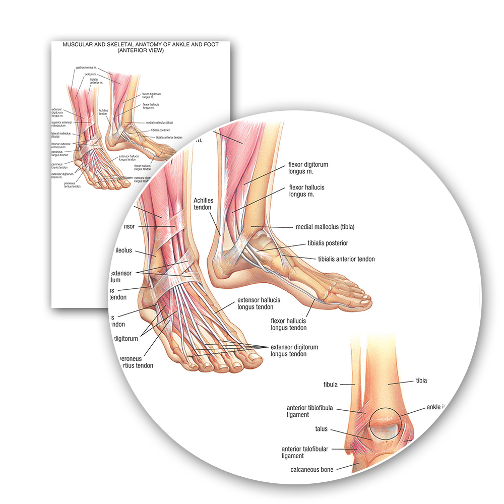 Human Anatomy Muscular And Skeletal Anatomy Of Ankle Anterior Foot