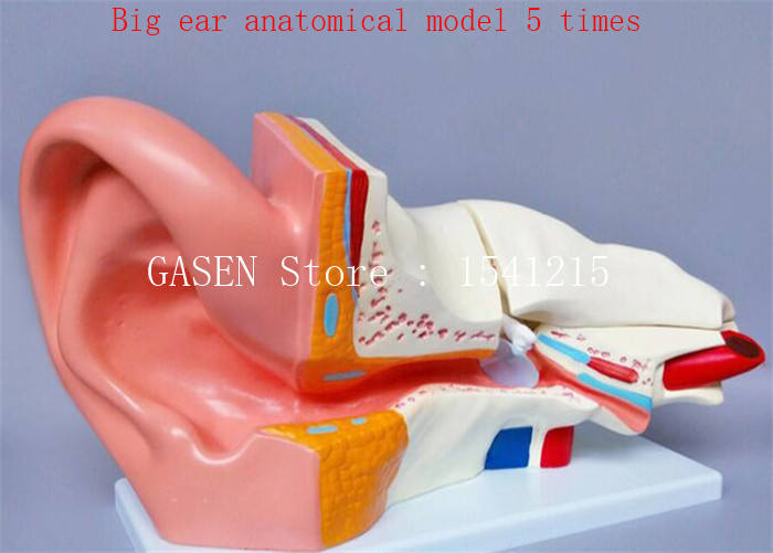 Human ear anatomical model Inner ear structure auditory system Principles of listening Teaching model Big ear anatomical model 5 skin model dermatology doctor patient communication model beauty microscopic skin anatomical human model