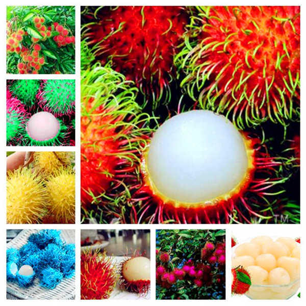 5 PCS Rambutan Bonsai Red Fruits Plant As Litchi Very Delicious Giant Plant Tree Also As A Home Garden Ornamental Trees
