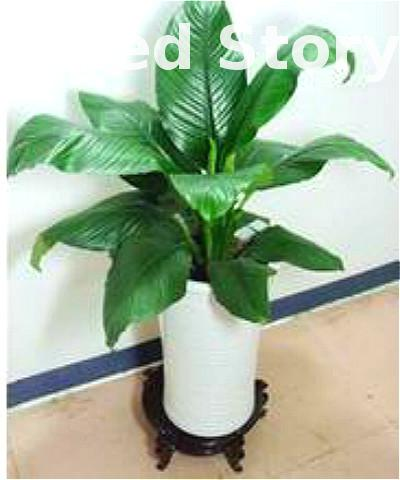 2016 Hot Sale Indoor Plants Bonsai Green Giant Potted Diy Plant The Seed  Air Purification The