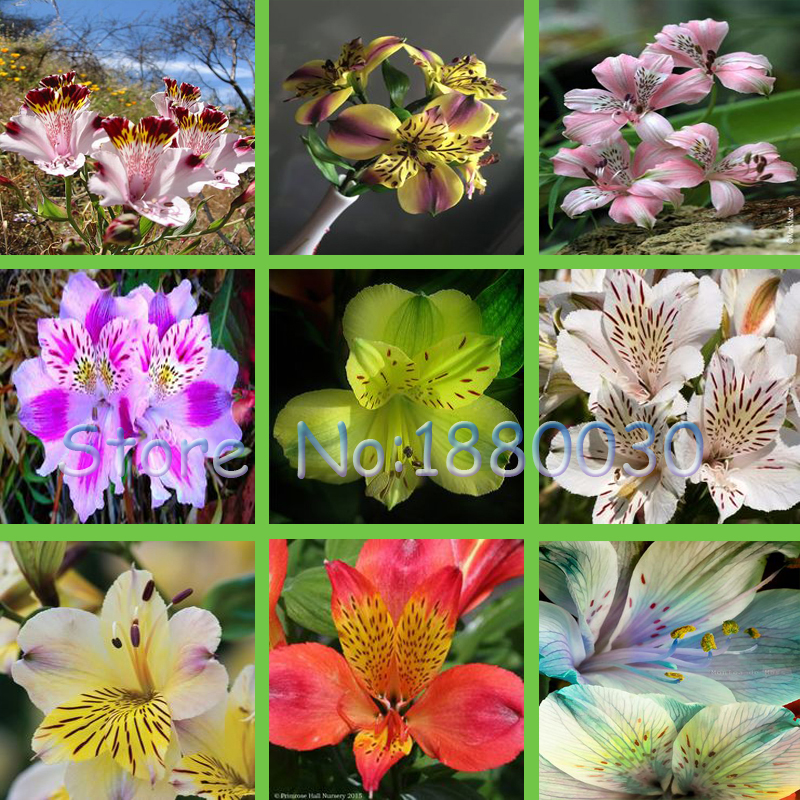 Blooming 24 different colors 120PCS Peruvian lily seeds home garden flowers bonsai potted alstroemeria