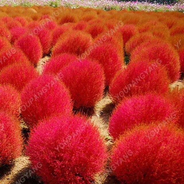 200 pz/borsa Estate Cypress bonsai Rotondo Cipresso Albero bonsai Aria Purificare Bonsai Pianta in Vaso Per La Casa Decorazione del Giardino di Trasporto libero