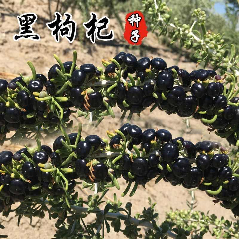 高品質赤黒中国種子種子、のための適切な四季鉢植えテラスガーデン分野で植え