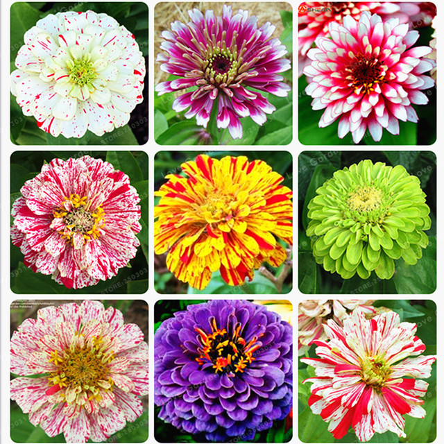 100 pcs mixed color zinnia seeds bonsai potted flower seeds rare 100 pcs mixed color zinnia seeds bonsai potted flower seeds rare spring flowers plants for home mightylinksfo