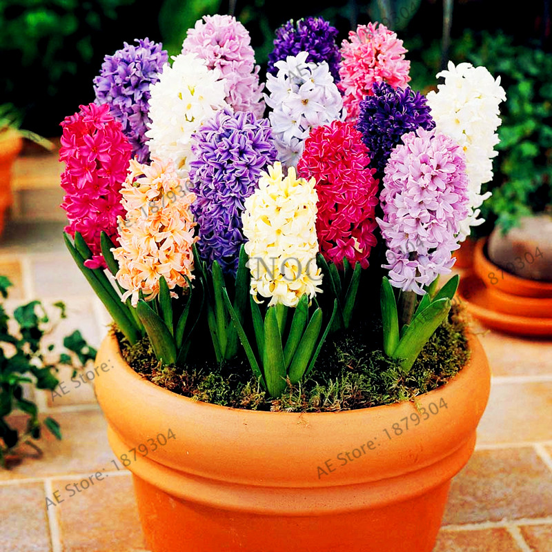 Detail Feedback Questions About 100 Pcsbag New Hyacinth Garden Best