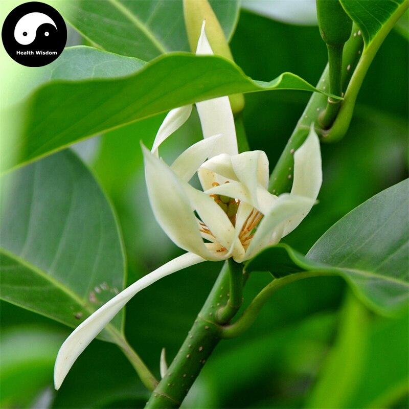 Buy magnolia tree semente 100pcs plant magnolia denudata for white buy magnolia tree semente 100pcs plant magnolia denudata for white flower yu lan in bonsai from home garden on aliexpress alibaba group mightylinksfo