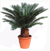 Cycas Seeds Bonsai Seeds Cycads Tree 100% True Seed in-kind Shooting,1 pcs/bag Bonsai Cycas Revoluta Tree For Home Garden