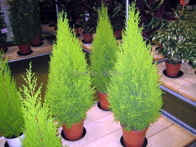 Hot selling 50pcs Cypress trees Platycladus orientalis oriental arborvitae seeds Conifer seeds DIY home garden free shipping