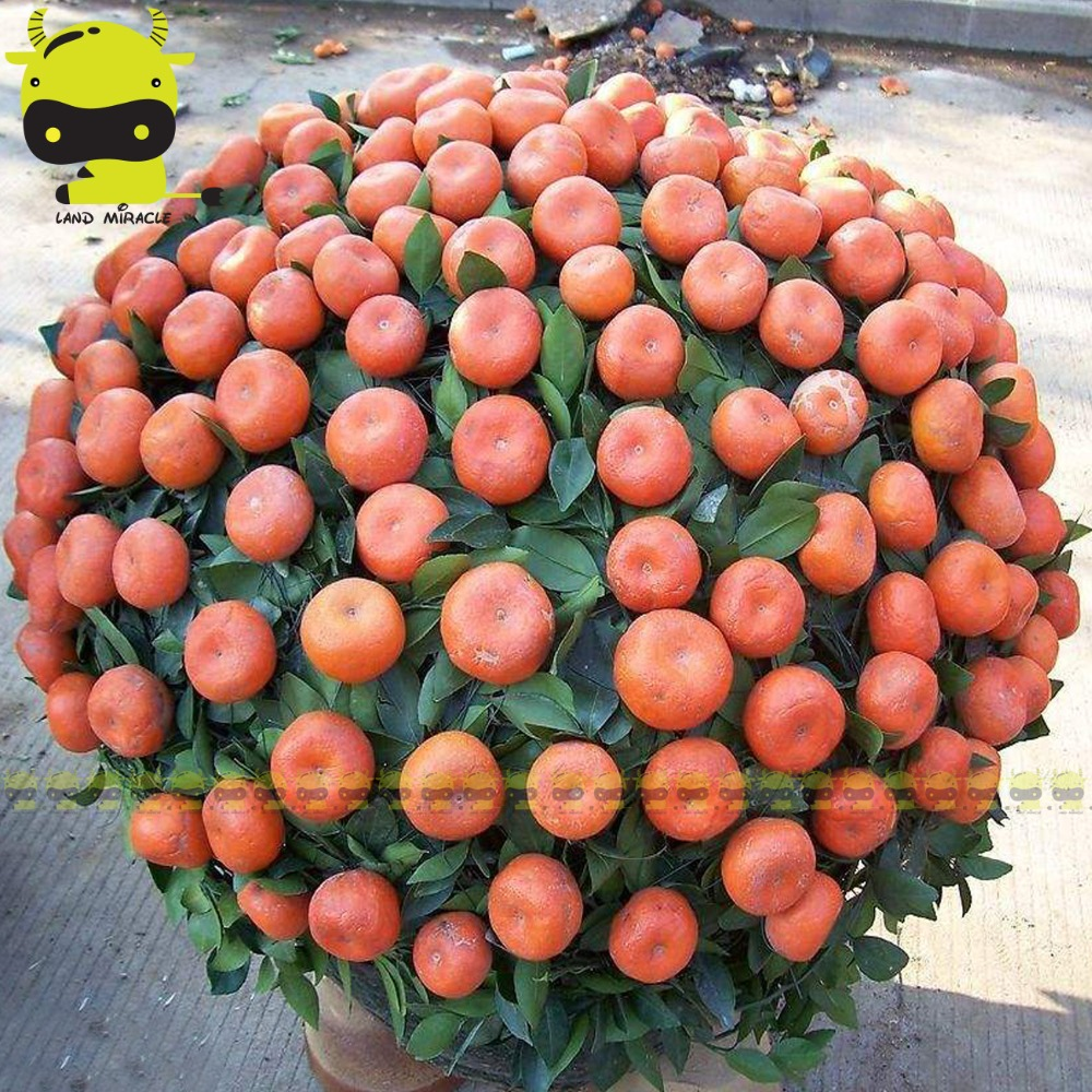10 Seeds/Pack, Dwarf Plants Bonsai Orange Tree Seed, Sweet Juicy Fruit Tangerine Heirloom Organic Seed