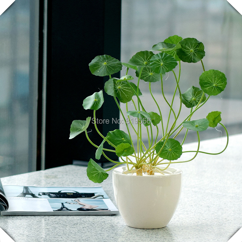 Indoor Plants Grown In Water: Hydrocotyle Vulgaris Grass Seeds Green Outdoor Garden