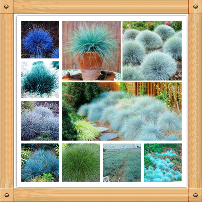 Buy 300 blue fescue grass seeds festuca for Hardy decorative grasses