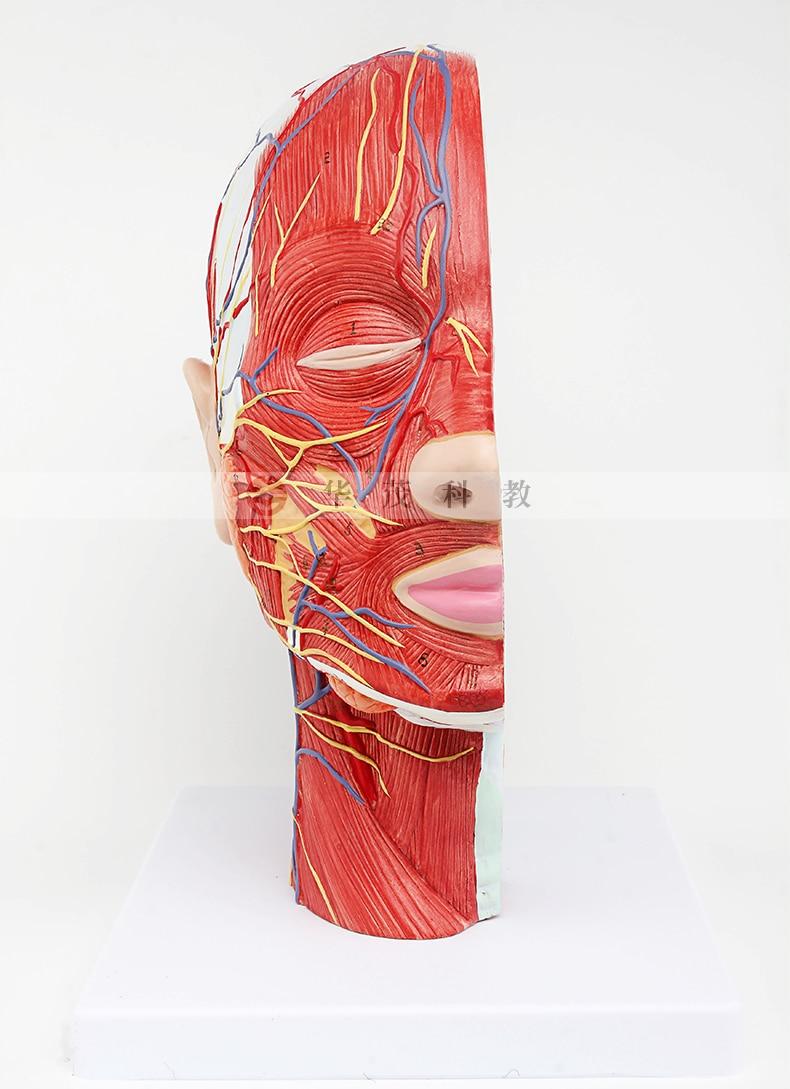 Anatomía Humana esqueleto modelo anatómico para la venta cráneo ...