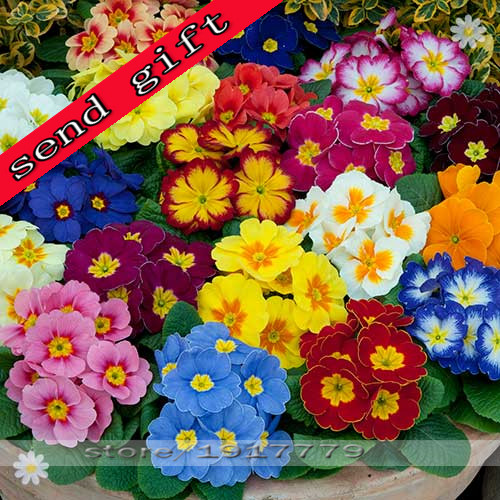 100pcs/bag100% True Europe Primula acaulis seeds, Primrose Rare bonsai flower seeds for home garden Indoor bonsai plants