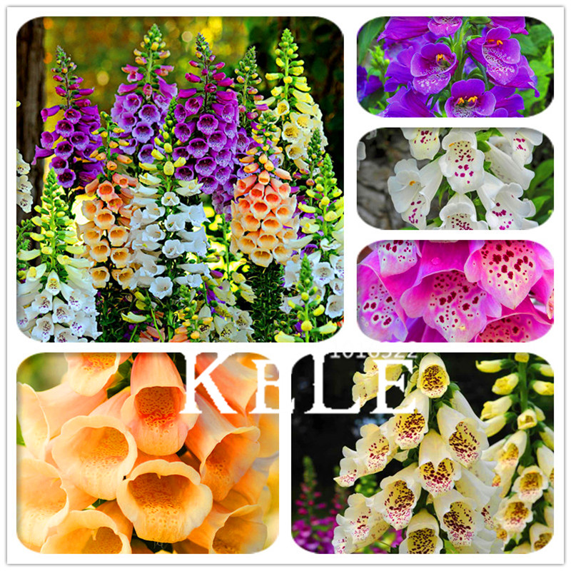 Time-Limit!! 100 Pcs/Bag Foxglove Flower Bonsai Fall Seasons Kinds Of Flowers Potted Plants