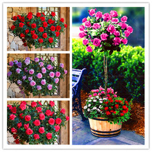 100 Pcs/Lot Rose Tree Bonsai Plants 16 Kind of Rare Color Holland Rose Flower Potted Planting for Home Garden Decoration