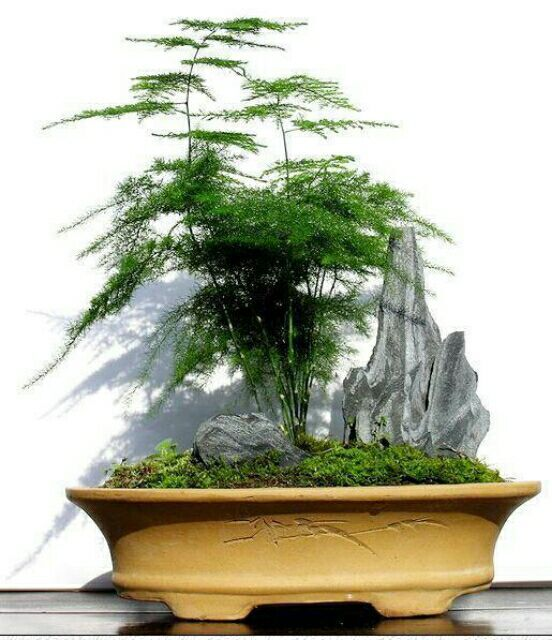 Nuages bambou graines asparagus graines, bonsaï d\'intérieur ...