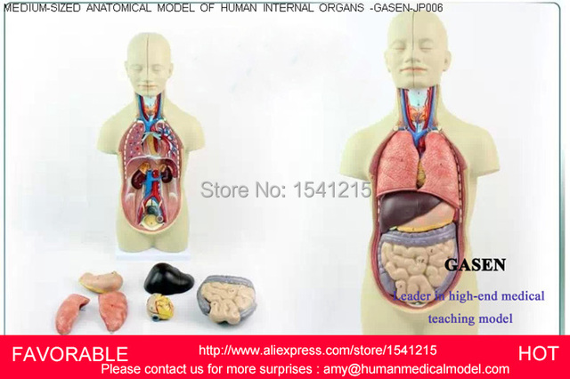 ORGANS TORSO ANATOMY MODEL MEDICAL DUMMY MEDICAL MANNEQUIN HUMAN ...