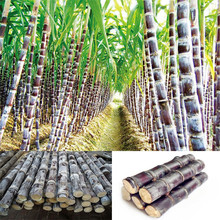 50 Pcs Sugar-cane Seeds Sweet Fruit Seed Rich In Sugar For Garden Planting As A Healthy Snack Food(China)