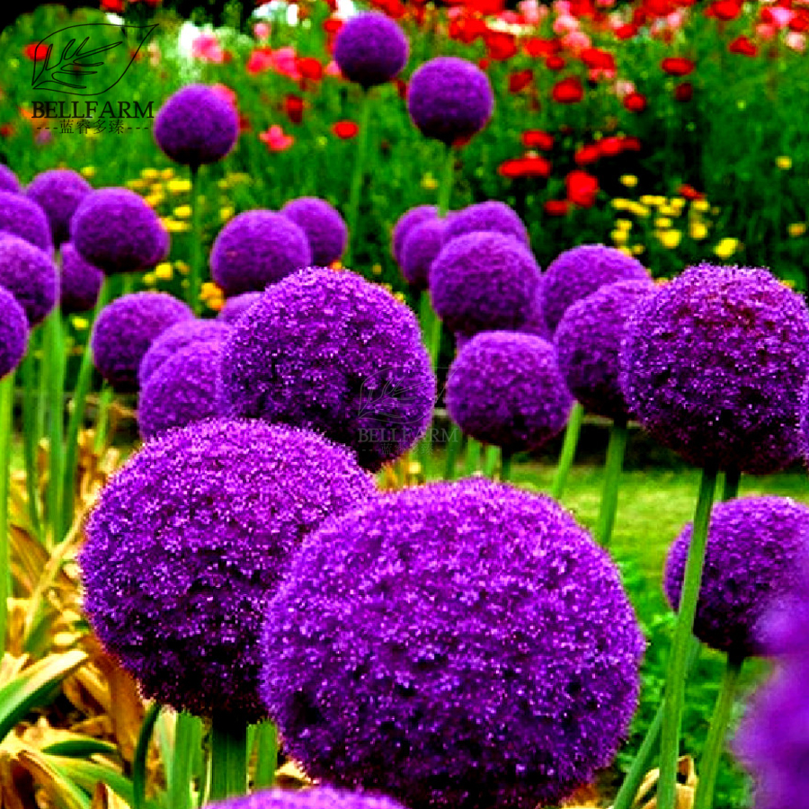 Bellfarm Heirloom Giant Allium Giganteum Bonsai Flowers Seed 200pcs
