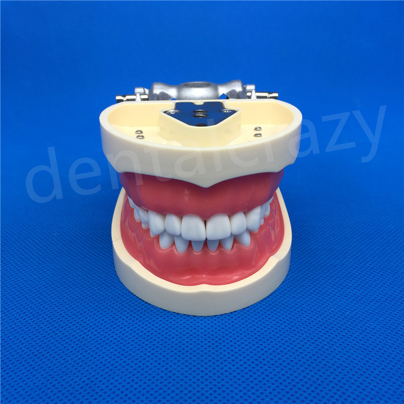 Teeth Teaching Model Dental Soft gingiva 200H Type Removable Teeth Model Free Shipping
