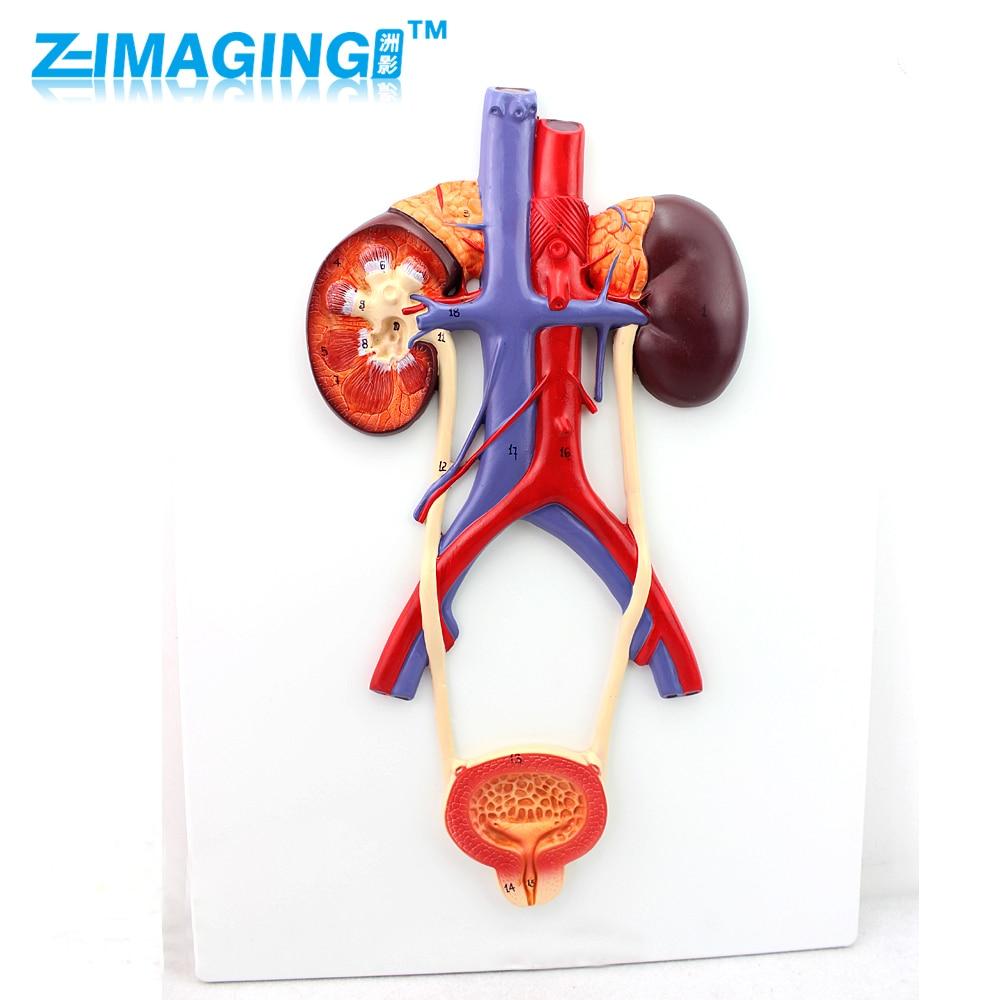 Urinary system ureter bladder urethra model renal anatomy model medicine cmam urology06 dual sex human urinary system in situ male and female bladder interchangeable