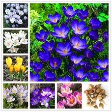 True crocus saffron bulbs,iran saffron,(not saffron seed),flower bulbs,Happy Joy Flowers,bonsai pot plant for home garden-2bulbs