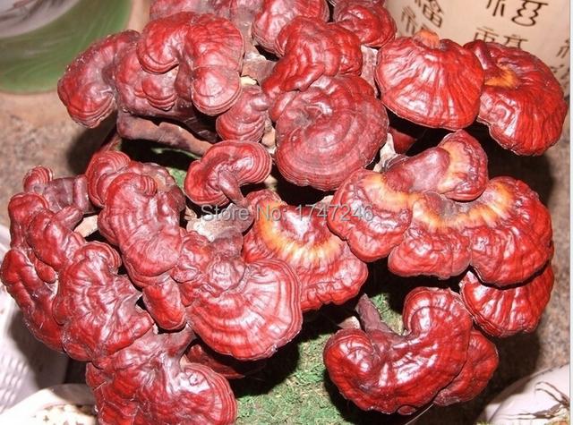 3 Bolsas Extracto de GANODERMA LUCIDUM LINGZHI REISHI Herbal CÁPSULA 500 mg * 100 cápsulas/bolso de Calidad Superior