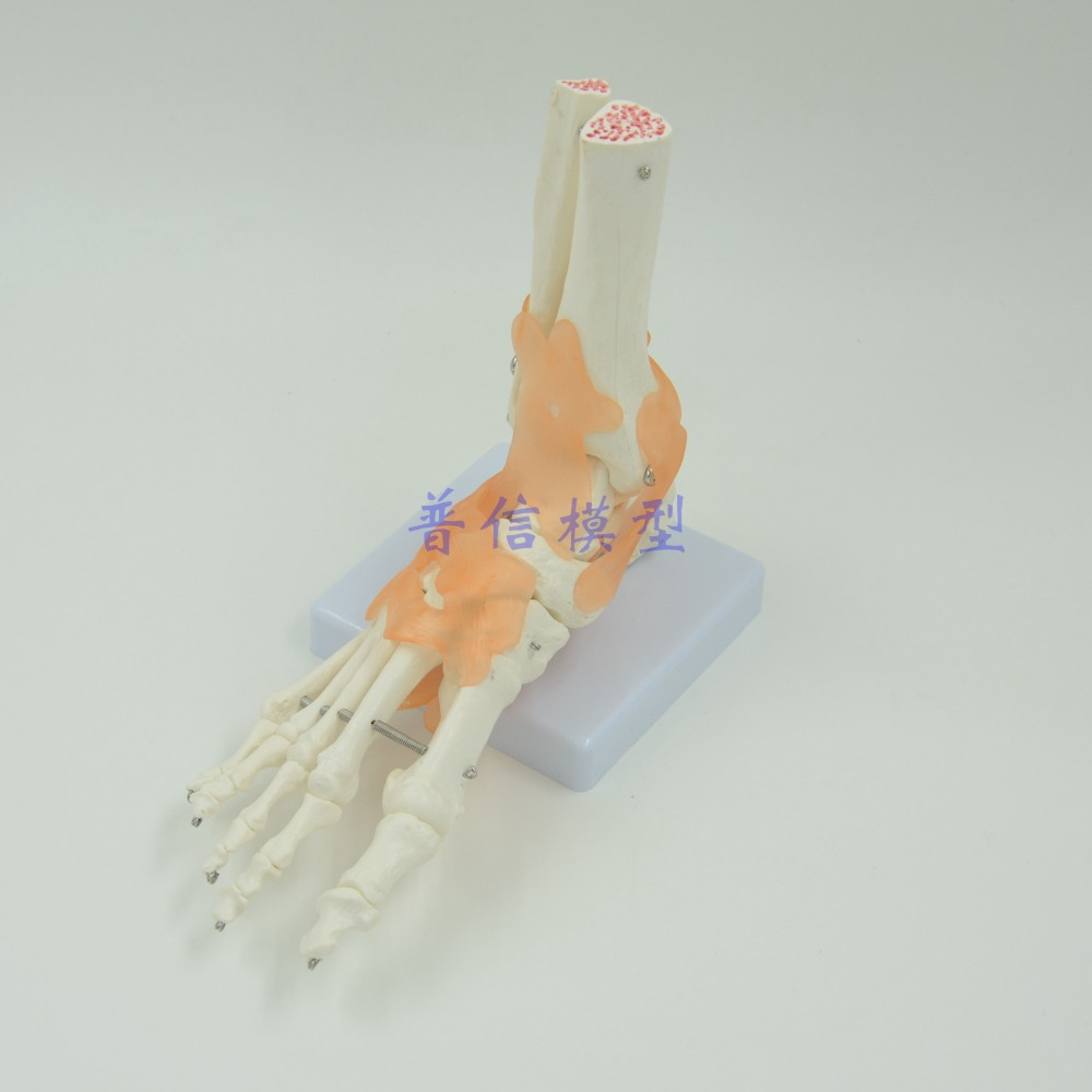 DongYun brand Human foot Ankle joint model foot skeleton model with ligament Medical Science teaching supplies