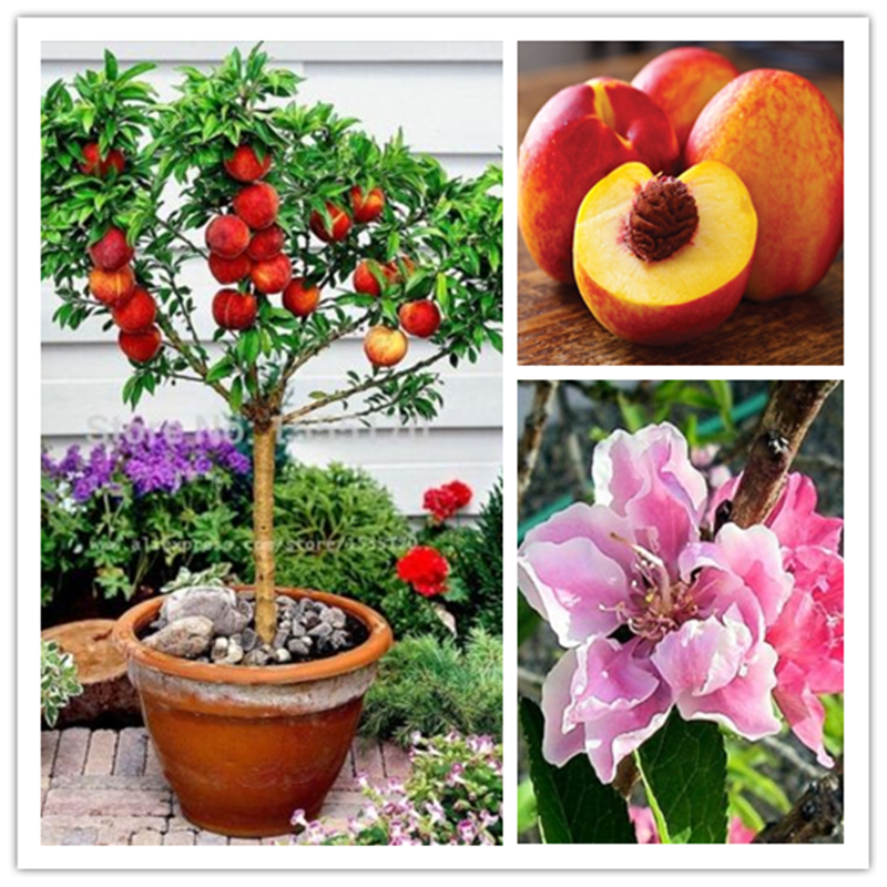 10 pcs sweet peach seeds, Peach Tree seeds, Dwarf bonanza peaches, bonsai Fruit seeds for home garden plants